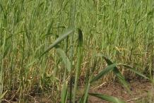 Rye-plant