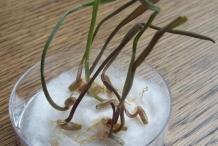 Rye-seedlings