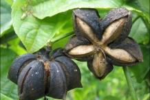 Dried-Sacha-inchi-on-the-plant
