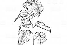 Sketch-of-Sacha-Inchi-plant