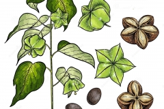 Plant-Illustration-of-Sacha-Inchi
