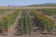 Safflower-farm