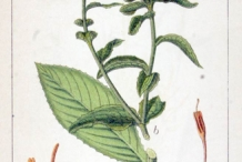 Safflower-plant-illustration
