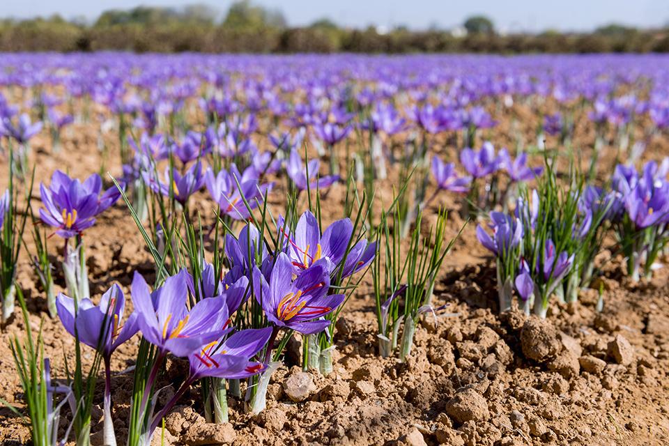 Saffron-farming