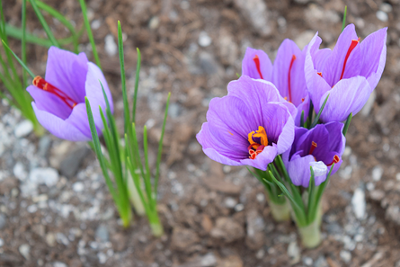 Saffron-plant