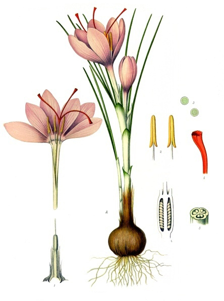Plant-illustration-of-Saffron