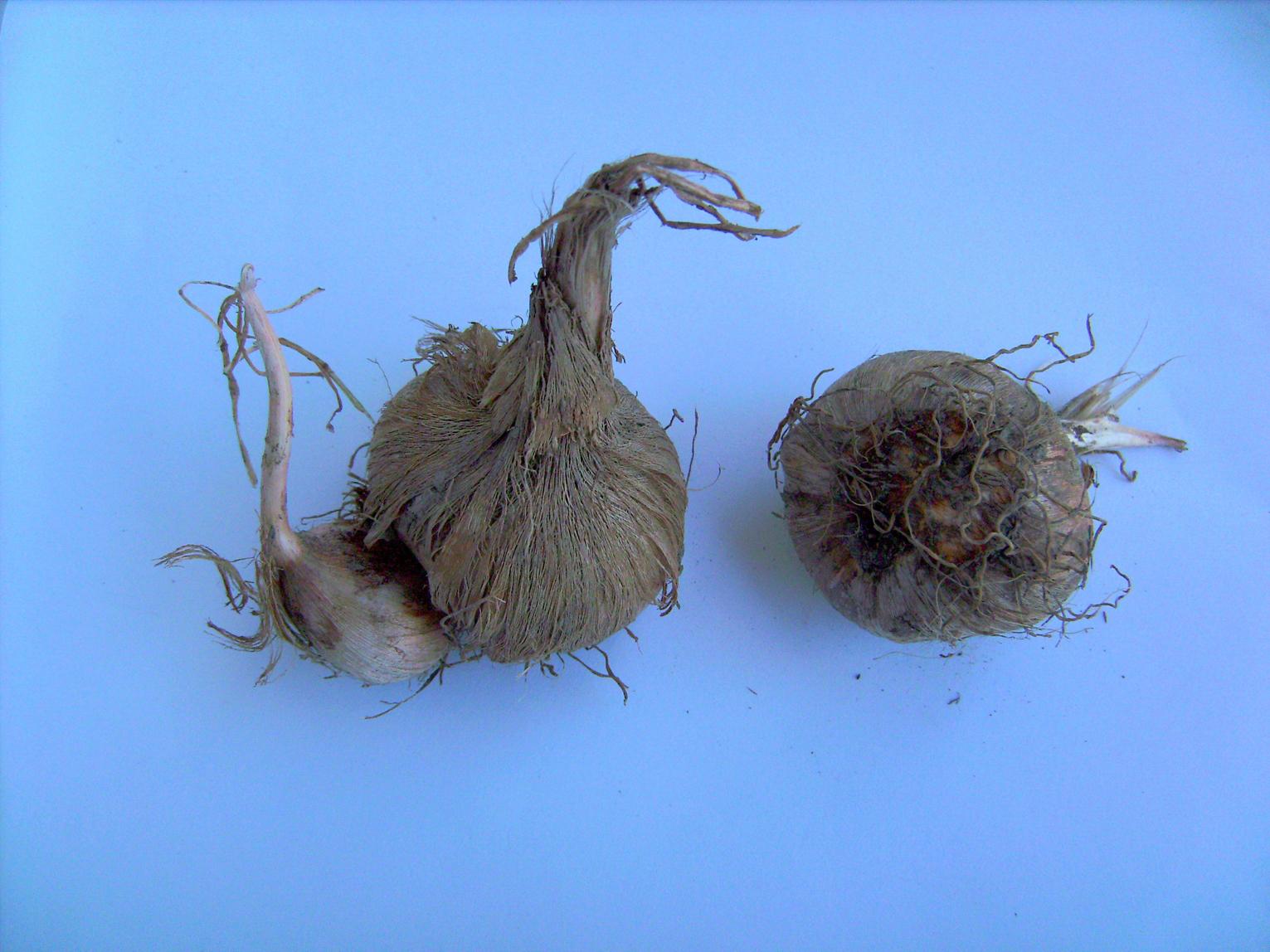 Saffron-corms