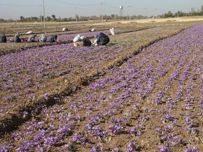 Saffron-farm