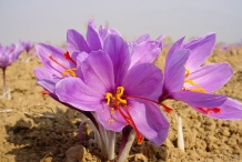 Close-up-flower-of-Saffron