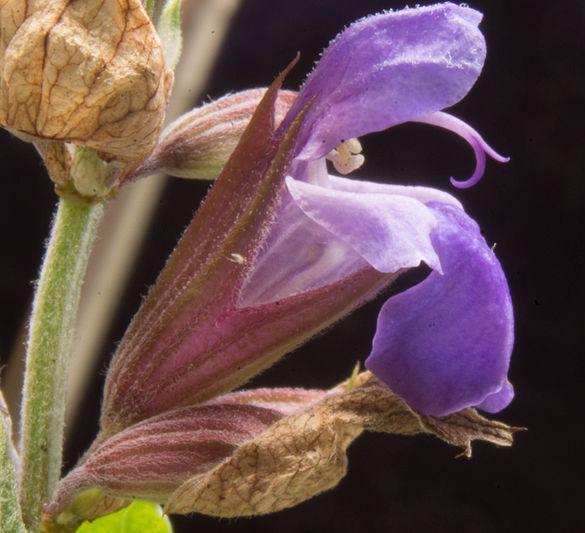 Flower-of-Sage-Plant