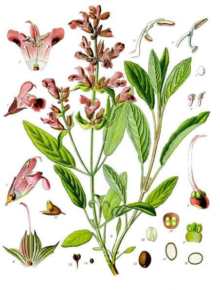 Sage-plant-Illustration