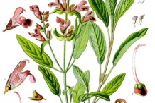 Sage-plant-Illustration