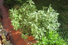 Sage-plant-in-the-garden