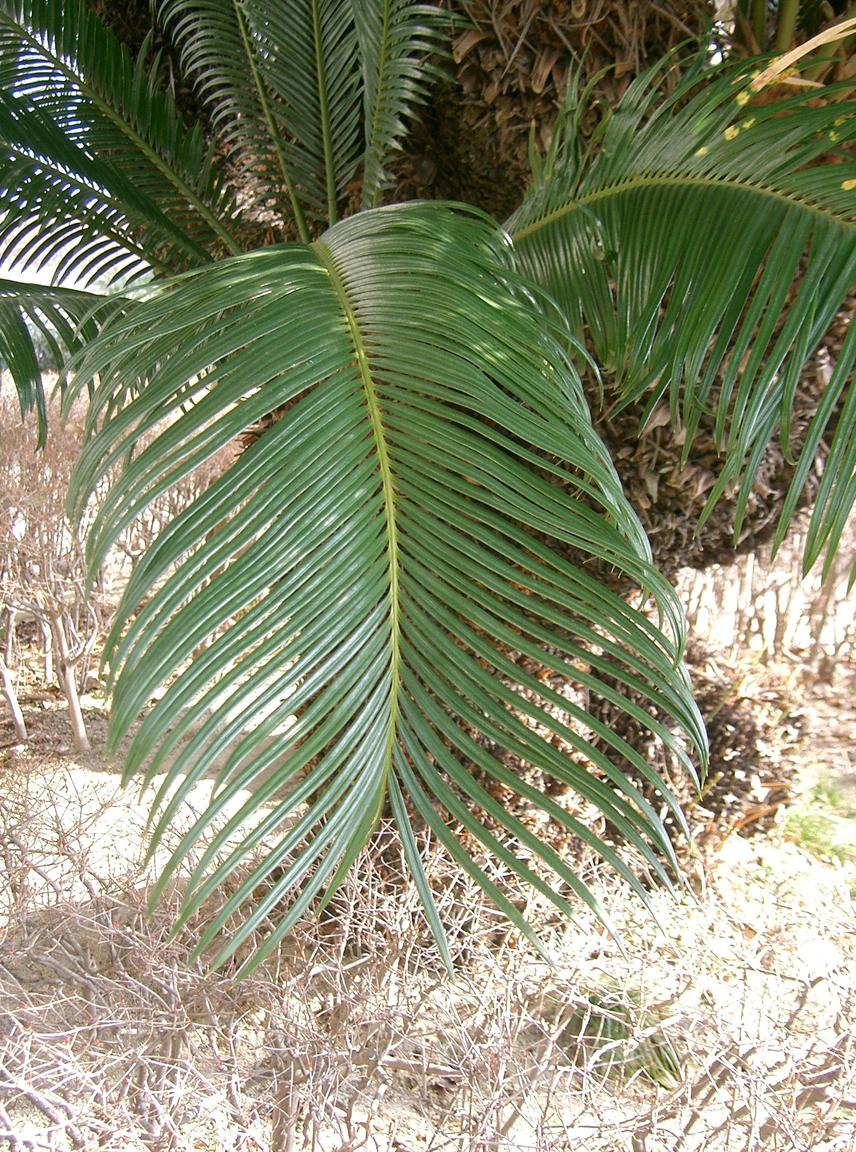 Sago-Palm-leaf