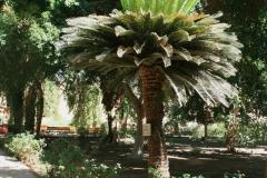 Sago-Palm-tree