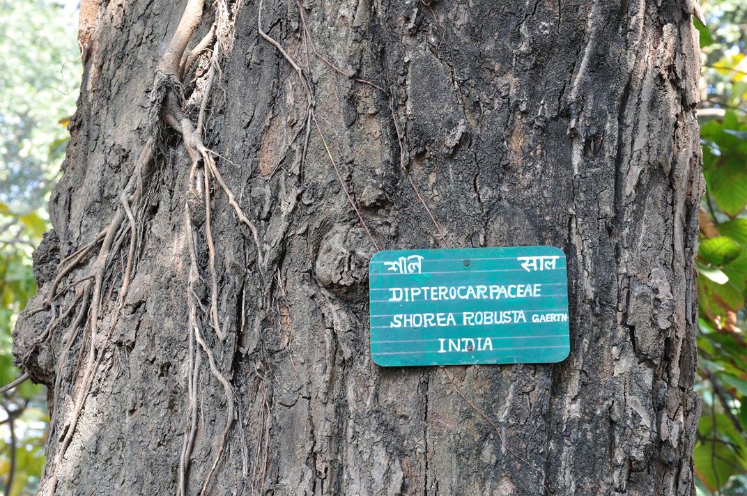 Bark-of-Sal-tree