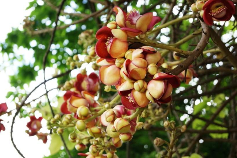 Flower-buds-of-Sal-tree