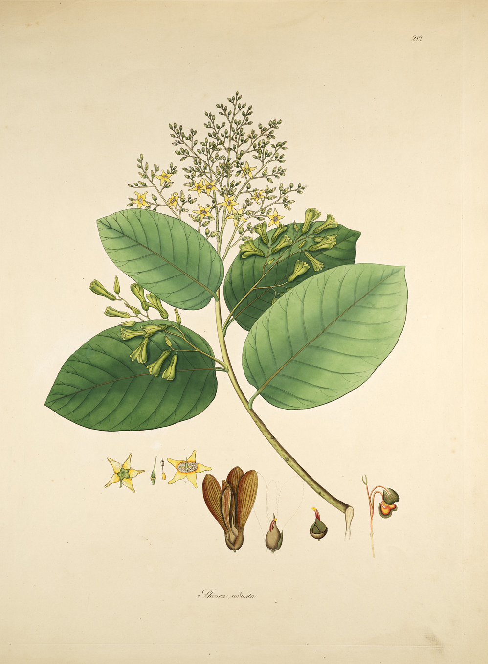 Illustration-of-Sal-tree
