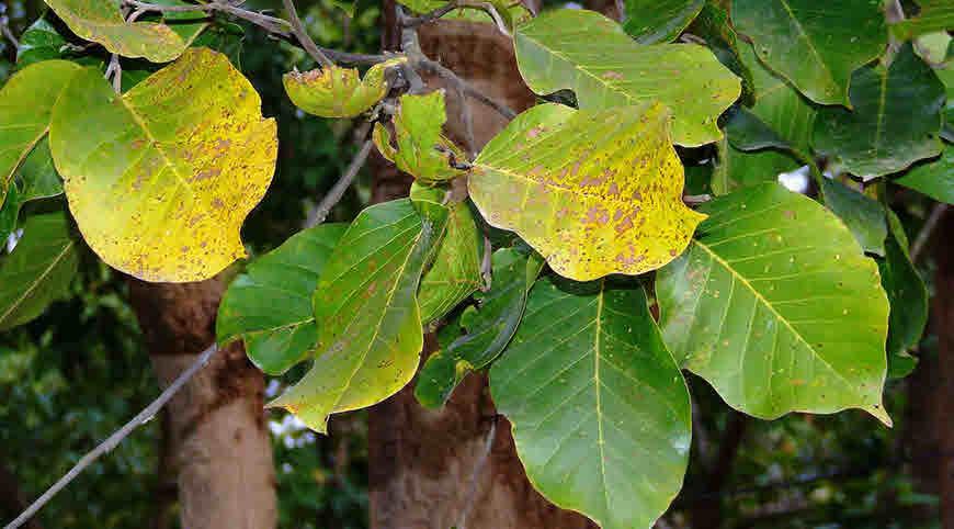 Leaves-of-Sal-tree