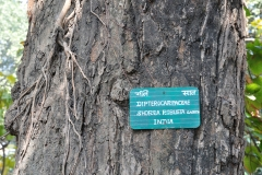 Bark-of-Sal-tree