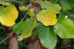 Leaves-of-Sal-tree