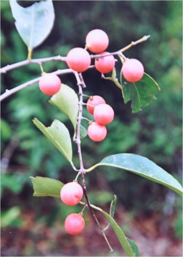 Salacia-reticulata-fruit