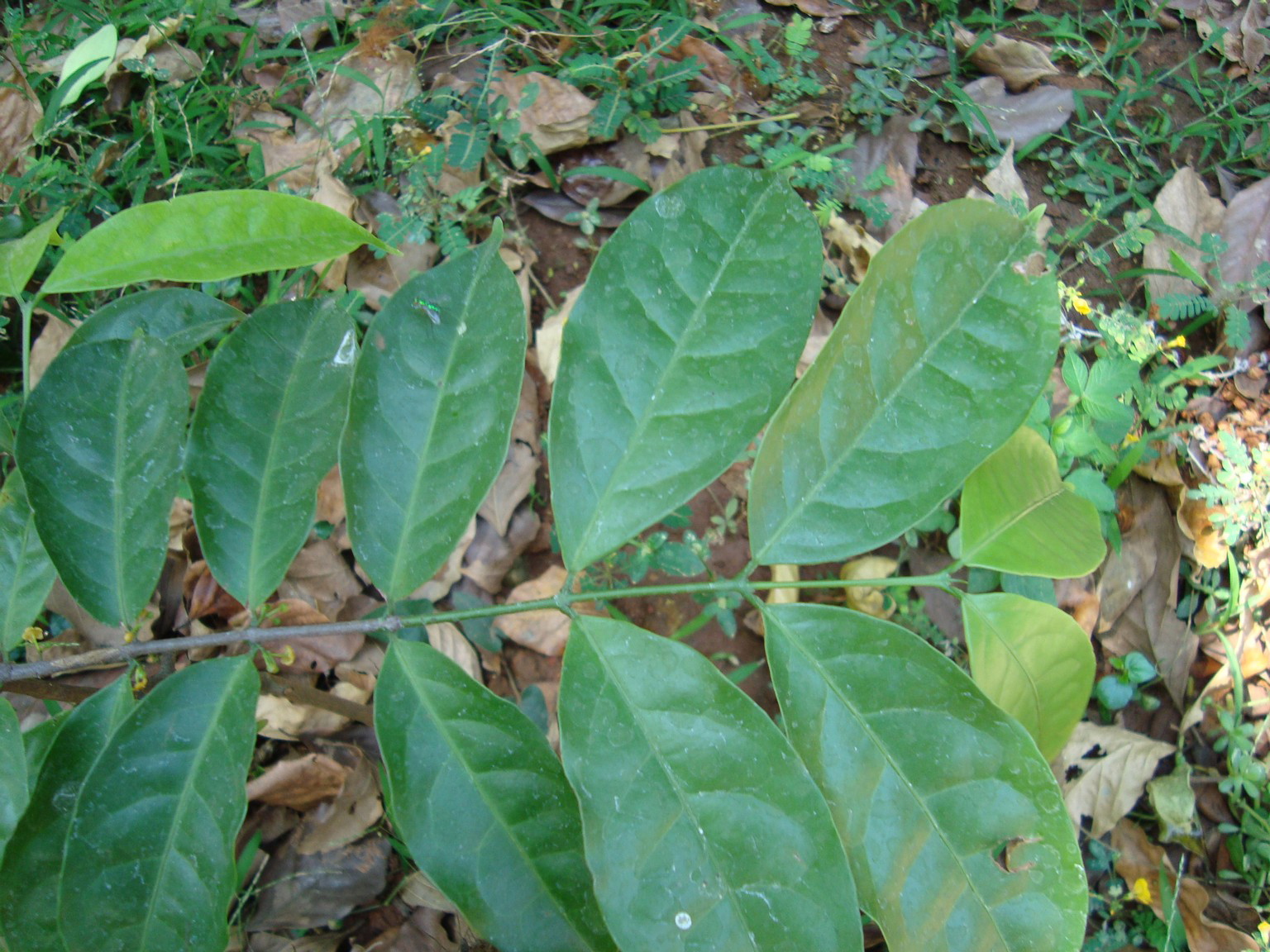 Salacia-reticulata-leaves