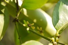 Salacia-reticulata-flower