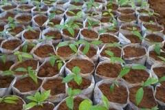 Salacia-reticulata-seedings