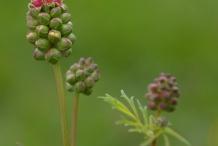 Flowering-buds-of-Salad-Burnet