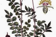 Plant-Illustration-of-salad-burnet