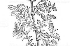 Sketch-of-Salad-burnet