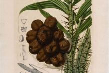 Salak-fruit-illustration
