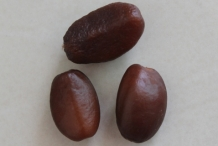 Salak-fruit-seeds