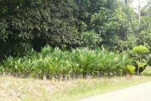 Salak-fruit-farm