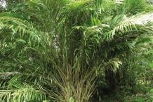 Salak-fruit-plant