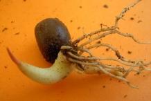 Salak-fruit-seedlings
