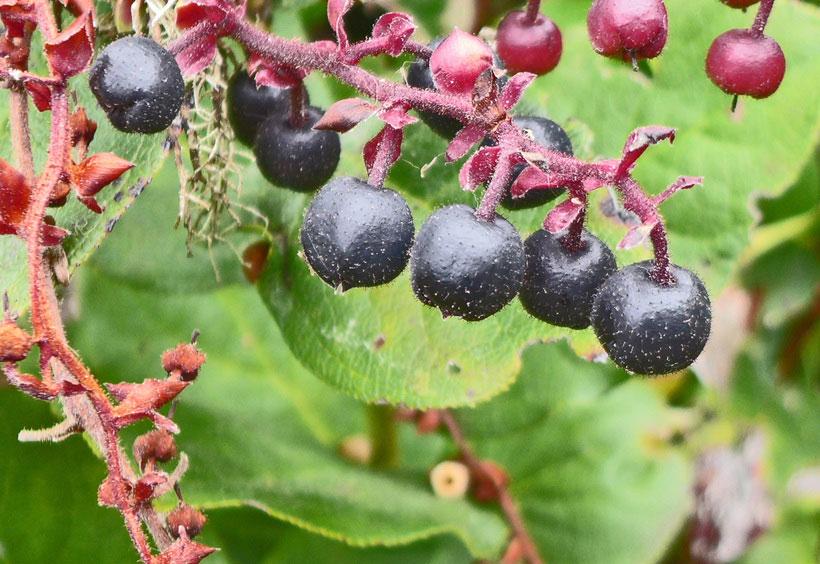 Mature-Fruits-of-Salal