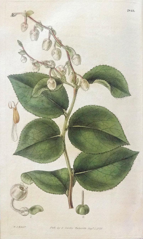 Plant-Illustration-of-Salal