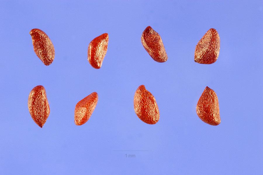 Seeds-of-Salal