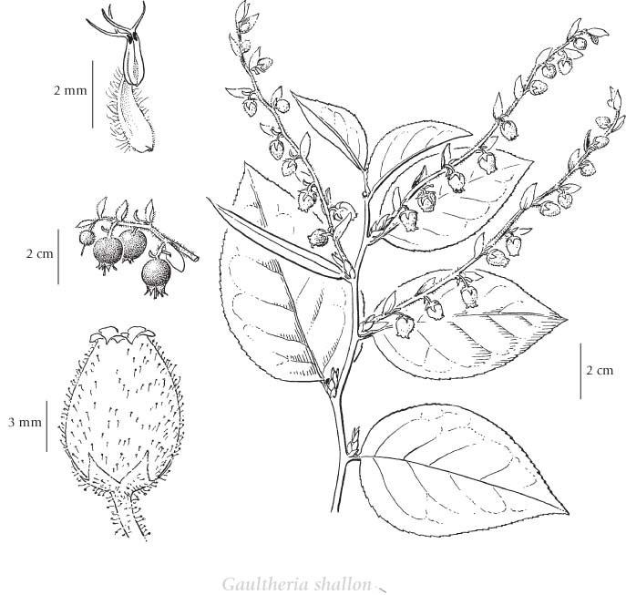 Sketch-of-Salal