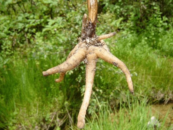 Roots-of-Salam-Panja