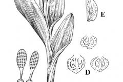 Plant-Illustration-of-Salam-panja