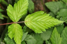 Leaves-of-Salmonberry