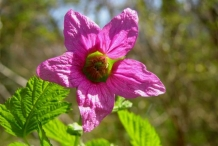 Salmonberry-close-up-flower