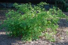 Salmonberry-plant