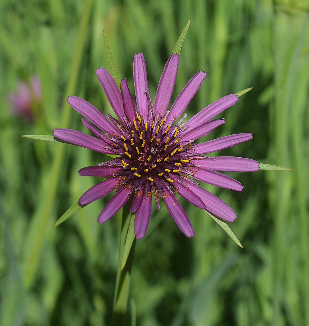 Close-up-flower-of-Salsify