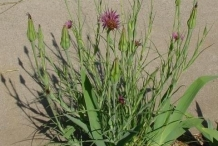 Salsify-plant