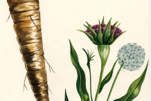 Plant-illustration-of-Salsify