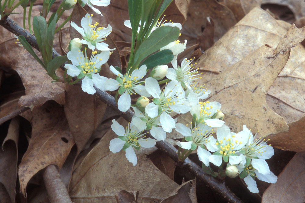 Flowers-of-Sand-cherry